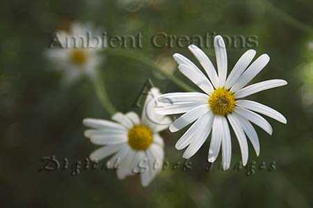 Three Daisies, One in Focus