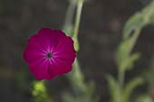 Rose Campion, Close-Up